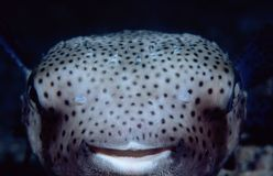 Happy Fish. Happy porcupine Fish royalty free stock image