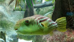 Happy Fish. A tropical fish that looks entirely too happy. It is housed in the Shedd Aquarium in Chicago Royalty Free Stock Photos