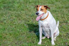 Danish Swedish Farmdog. Happy five-year-old Danish Swedish Farmdog. This breed, which originates from Denmark and southern Sweden is lively and friendly stock image