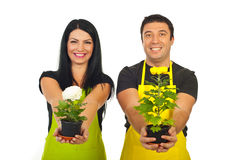 Happy florists giving chrysanthemum pots Royalty Free Stock Photo