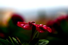 Happy Flower Dew. A beautiful red domestic flower enjoying an early morning dew shower royalty free stock image