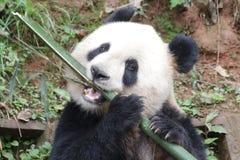 Giant Panda in China. Happy Fluffy Panda Eats Long Bamboo Stick Royalty Free Stock Image