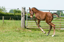 Happy foal Royalty Free Stock Images