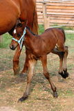 Happy foal (beside its mother) Stock Photo