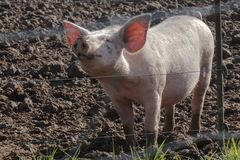 Happy Free Range Pig with Mud and Grass: Smiling Piggy Stock Photography