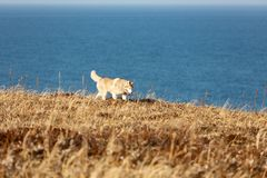 Happy and free Siberian husky dog running in the withered grass on the hill at seaside royalty free stock images