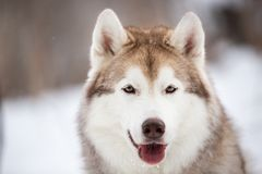Happy and free Siberian Husky dog sitting on the snow in the dark forest in winter. Close-up Portrait of cute, happy and free Siberian Husky dog sitting on the royalty free stock photo