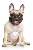 Happy French bulldog Royalty Free Stock Photo
