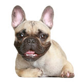Happy French bulldog. Happy puppy of the French bulldog lies on a white background Royalty Free Stock Image