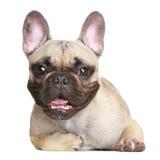 Happy French bulldog Royalty Free Stock Image