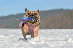 Free Happy French Bulldog Dog Playing In Snow While Wearing A Purple Warm Winter Coat With Fur Collar And Holding Dog Toy Stock Image - 165037381