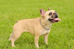 Happy French Bulldog Stock Photography