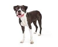 Happy Friendly Boxer Crossbreed Dog Stock Photo