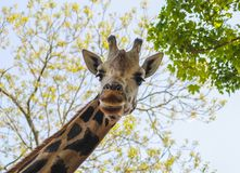 Happy Friendly Giraffe stock photography