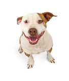 Happy and Friendly Pit Bull Stock Images