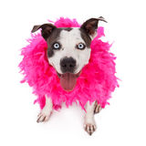 Happy Friendly Pit Bull Wearing Feather Boa Stock Image