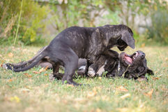 Happy Friends. Two of happy dogs playing in the grass Royalty Free Stock Images