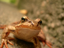 Happy frog. Closeup of frog with shallow depth and background completely out of focus Stock Photography