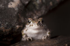 Happy frog looking between rocks Stock Photography