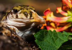 Happy Frog Waves Hello Royalty Free Stock Image