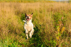 Happy funny dog running in field. Ack Russell Terrier playing on nature Stock Photos