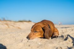 Happy funny dog, screwing up his eyes, sweetly sleeps on the bea. Ch on a quiet, sunny evening Royalty Free Stock Images