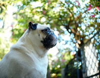 Happy funny lovely pug Royalty Free Stock Photography
