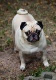 Happy funny lovely pug Stock Photos