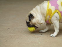 Happy funny lovely pug Stock Image