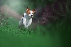 Happy funny terrier dog playing, running. And jumping stock photography