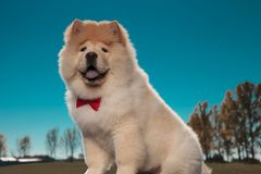Happy furry little chow chow puppy dog wearing red bowtie royalty free stock photos