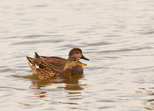 The happy Gadwall couple Stock Photography