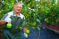 Happy gardener cares for grapefruit in greenery Stock Photos