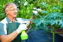 Happy gardener cares for papaya plant. Happy senior gardener cares for papaya plant in greenhouse Stock Image