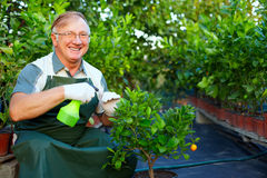 Happy gardener cares for plants in greenhouse. Happy senior man, gardener cares for citrus plants in greenhouse Royalty Free Stock Image