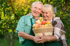 Happy gardeners holding apple basket. Smiling old men and woman. Love and labor Stock Photos