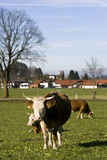 Happy german cows on green grass Stock Photos