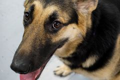 Happy German Shephard at the groomers smiling stock photo