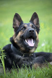 Happy German Shepherd Dog Stock Image