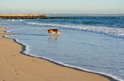 German Shepherd dog plays on the beach Stock Photos