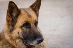 Happy german shepherd in the meadow. Portrait of young german shepherd dog in the field.  royalty free stock photography