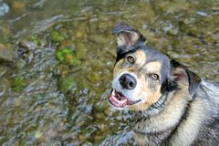 Happy German Shepherd Mix Dog Swimming in Stream Stock Photo