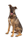 Happy German Shepherd Mixed Breed Dog Sitting Stock Photo