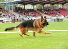 Happy german shepherd playing on stadium Royalty Free Stock Image