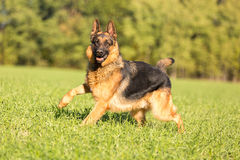 Happy german shepherd. royalty free stock image