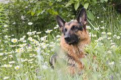 Happy German shepherd in white daisies Royalty Free Stock Images