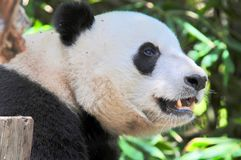 Happy Giant Panda ready for snacks. The Panda or Ailuropoda melanoleuca, is native to south central China. This one resides at the San Diego Zoo in California royalty free stock image