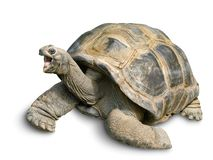 Happy Giant tortoise on white stock photography