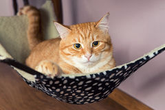 Happy ginger cat. Lying in a fur hammock Royalty Free Stock Image
