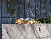Happy Ginger Cat Sleeping on Garden Wall. A happy and authentic stray ally ginger tabby rescue cat sleeping on a garden wall at his adopted home Stock Photos